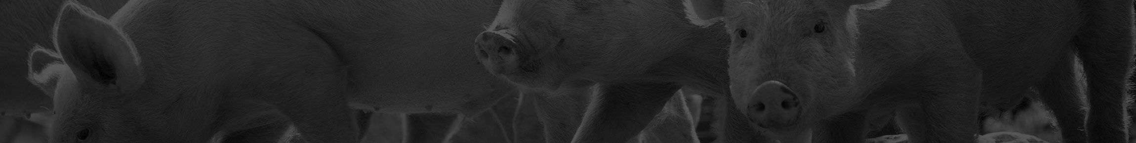 Pig Feed | Pig Feed Supplements | Target Feeds | Targetfeeds